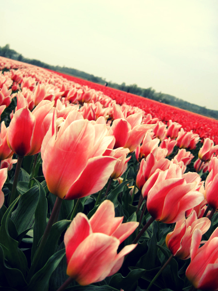 Tulip field in Lisse, the Netherlands