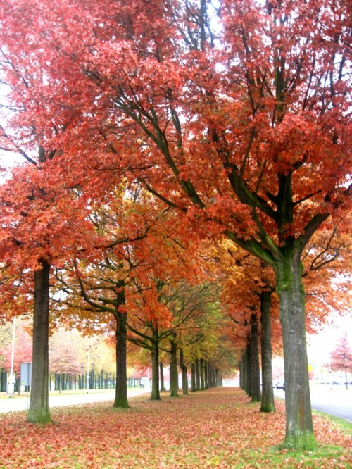 Trees with reddish leaves in Eindhoven