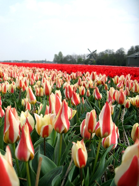 Tulip field & windmill!